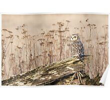 Short-eared Owl in Natural Sepia Poster