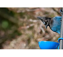 Curious Steller's Jay Photographic Print