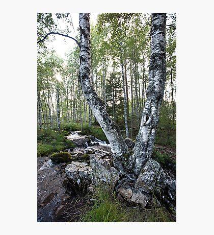 Twin Birch Tree Photographic Print