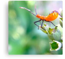 Ready to leap - assassin bug nymph Canvas Print