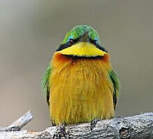 Little bee-eater up front! by jozi1