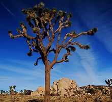 Winter Afternoon In Joshua Tree by Ron Hannah