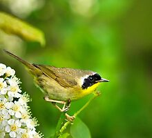 Wild Birds - Common Yellowthroat Warbler by Christina Rollo
