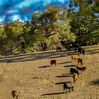 Cattle in the Adelaide Hills by indiafrank