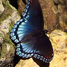 Butterfly on the Rocks by lorilee