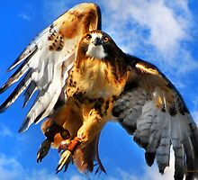 Red-Tailed Hawk North Wind by Christina Rollo