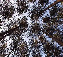Tall Pine Perspective by Janet Gosselin