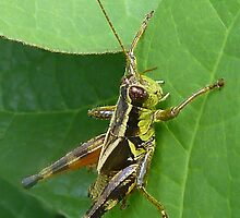 Grasshopper by Evelyn Laeschke