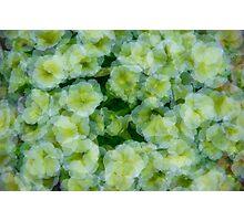 Playful Petunias  Photographic Print
