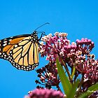 Meadow Monarch Butterfly by Christina Rollo
