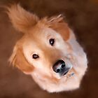 Wishful Thinking Golden Retriever by Christina Rollo
