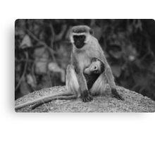 Vervet monkey with baby Canvas Print