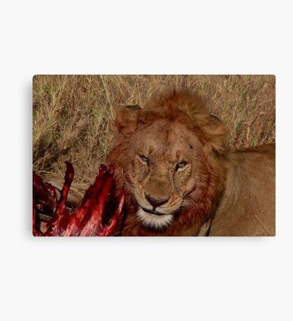 Wild Lion Eating Canvas Print