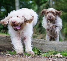 Italian Spinone Dogs in Action ~ Annabelle & Thane  by heidiannemorris