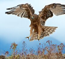 Wild NZ Kahu Hawk attack by focuscreative