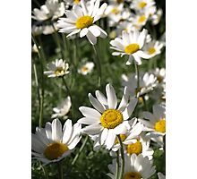 LARGE DAISY SUN WORSHIPPERS Photographic Print