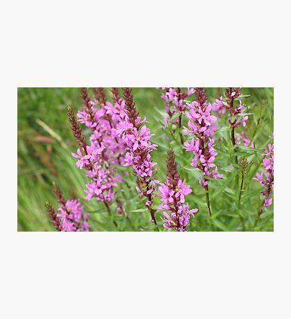 flower purple grass crybaby Photographic Print