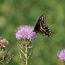 Black Swallowtail Butterfly by Sandy Keeton