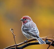Fall Finch by Christina Rollo