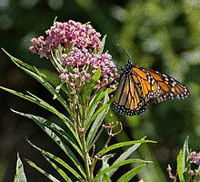 Monarch on Milkweed by Sandy Keeton