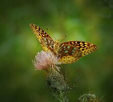 Aphrodite Fritillary Butterfly by Sandy Keeton