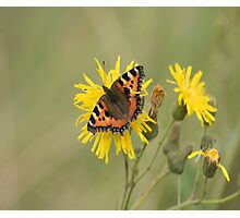 Small Tortoiseshell (Aglais urticae) on a Dandelion Photographic Print