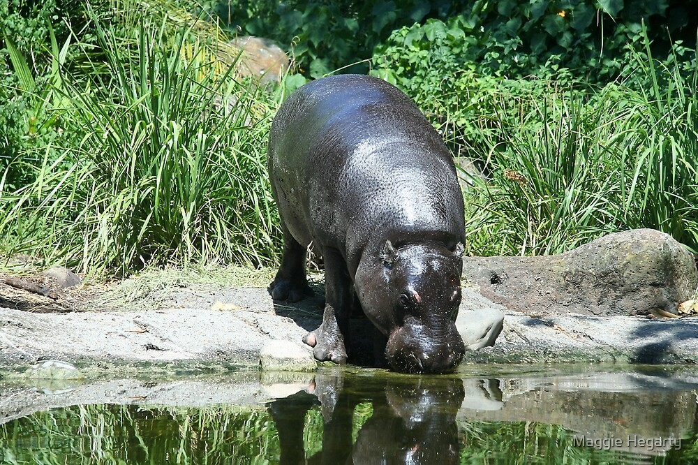 Hippo at the water hole by Maggie Hegarty