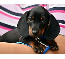 Dachshund Puppy Photographic Print