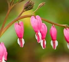 Bleeding Heart Flowers by Christina Rollo