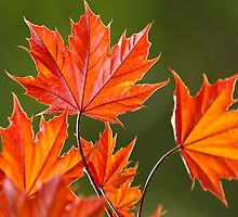 Red Maple Leaves Abstract by Christina Rollo