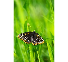 Baltimore Checkerspot Butterfly Photographic Print