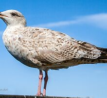 ...'' just ''  a simple young Seagul.... by John44