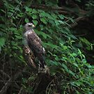 Hawk, Broad-Winged by virginian