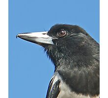 Our Friend Butch - the Pied Butcherbird Photographic Print