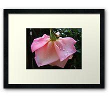 Peachy-Pink Rose After Rain Framed Print
