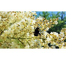 Bumblebee pollinating blossoms Photographic Print