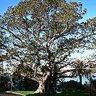 Big tree in Sydney/NSW/Australia by Wolf Sverak