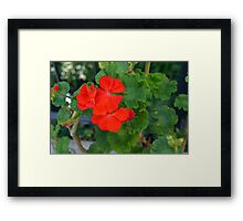 Red flower and green leaves, natural background Framed Print