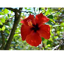 Red hibiscus flower and green leaves background Photographic Print