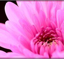 Pink Chrysanthemum by Emjay01