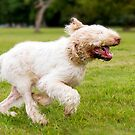 Orange & White Italian Spinone by heidiannemorris