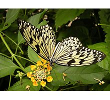 Papillon Photographic Print