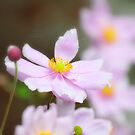 """""""Soft  Pink Anemones """" by Richard Couchman"""