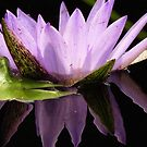 Lotus Reflection by lorilee