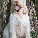 Italian Spinone by heidiannemorris