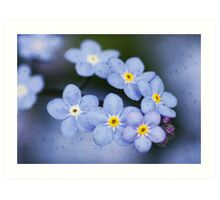 Myosotis alpestris is the state flower of Alaska. Art Print