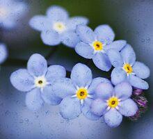 Myosotis alpestris is the state flower of Alaska. by AnnDixon