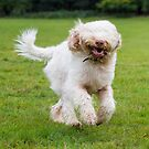 Orange & White Italian Spinone Dog in Action by heidiannemorris