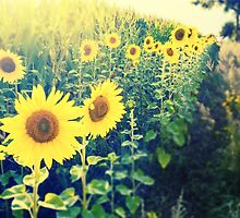 sunflowers at the cornfield by novopics