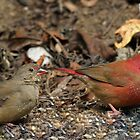 Red Billed Firefinches by jozi1